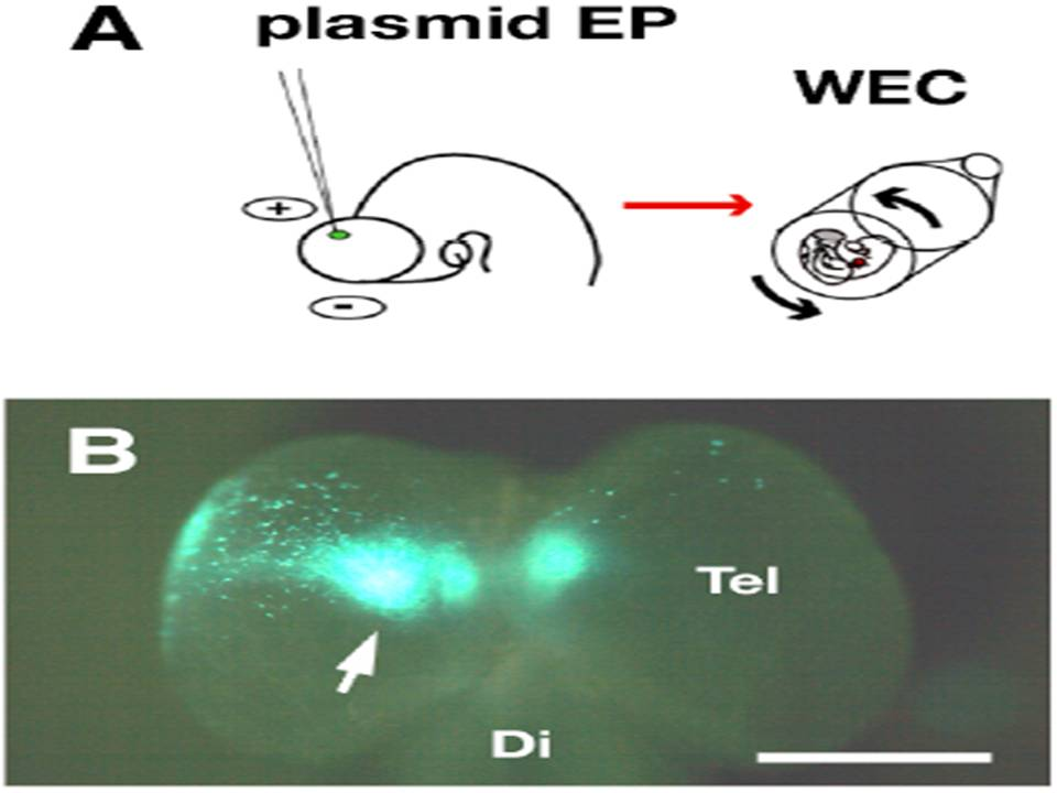 Transfection of a fluorescent protein-expression vector into the developing rat cortex