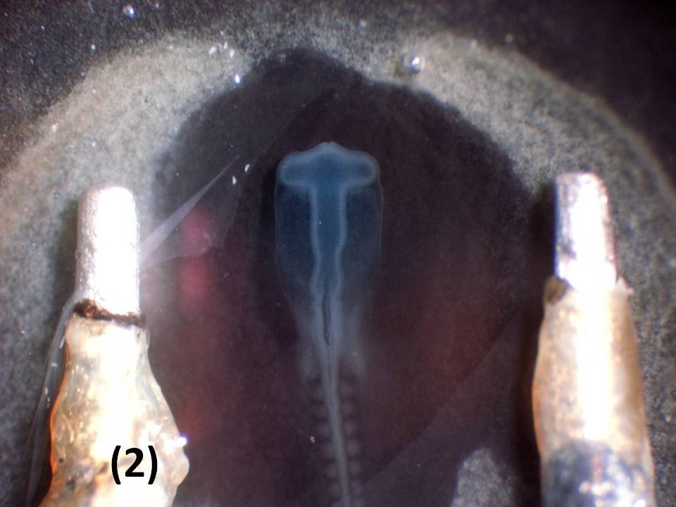 Illustration of electrodes on the vitelline membrane - overlying embryos