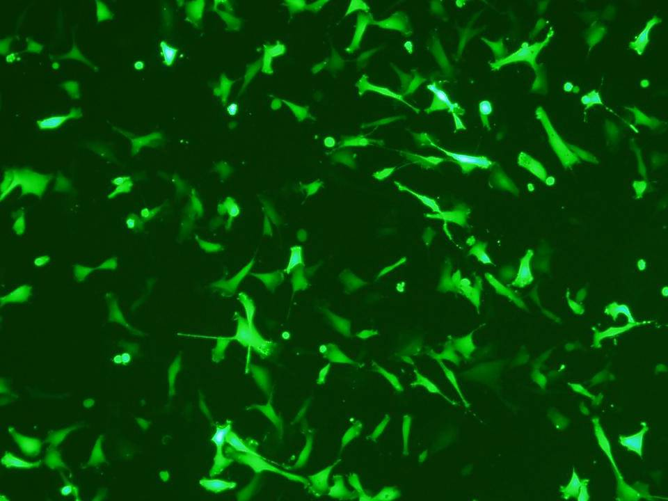 BFF - Bovine Fetal Fibroblasts – Transfection Efficiency 72 per cent