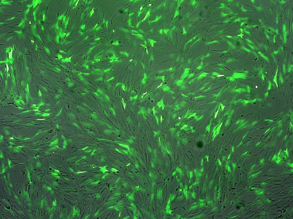 TIG-3 - Human Embryonic Lung Fibroblasts - Viability 90 per cent and Transfection Efficiency 80 per cent